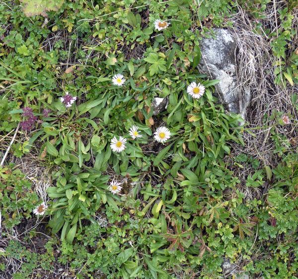 Erigeron alpinus L.