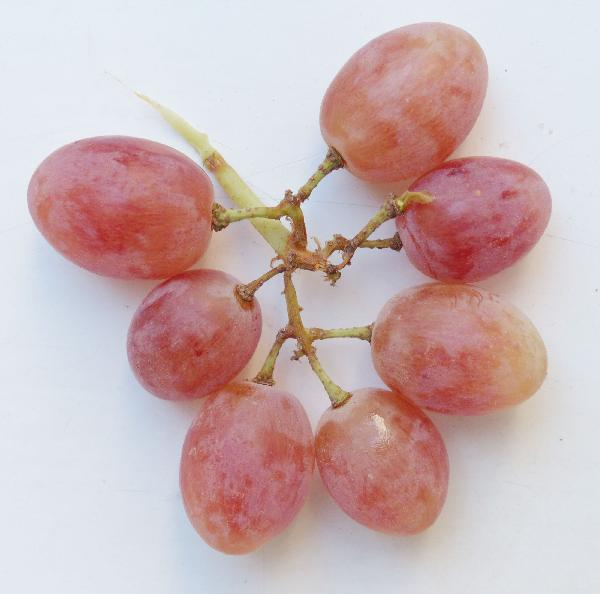 Vitis vinifera L. 'Early Red'