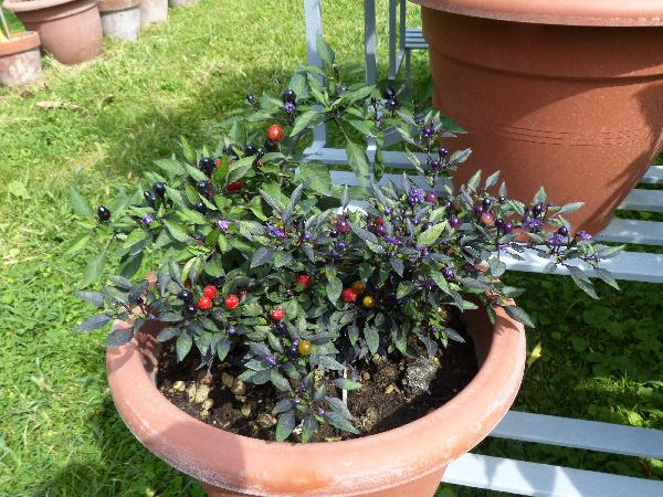 Capsicum annuum L. 'Christmas Tree'