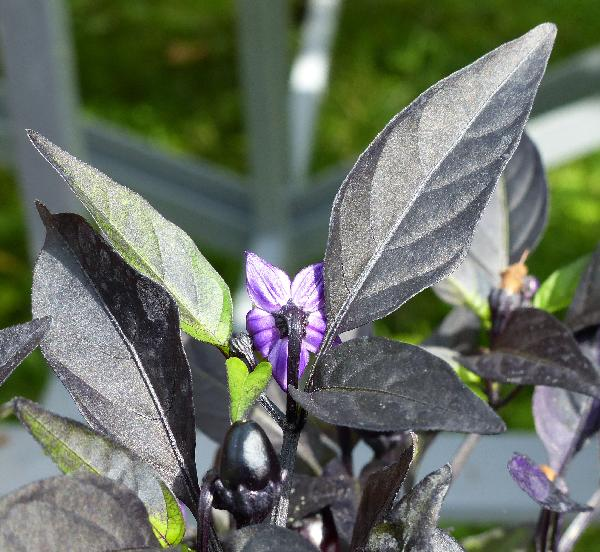 Capsicum annuum L. 'Purple Flash'
