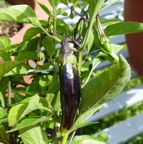 Capsicum annuum L. 'Peter Pepper'