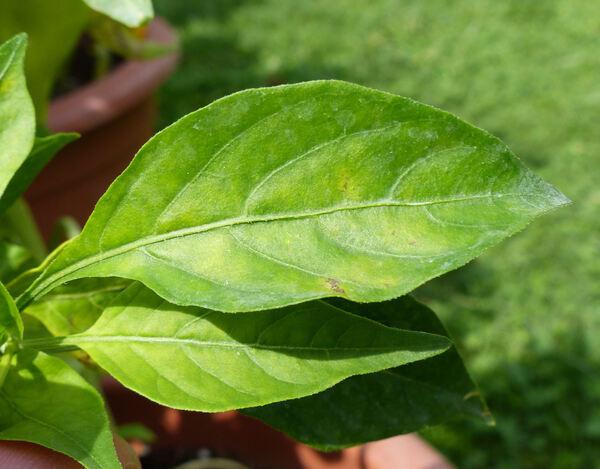 Capsicum annuum L. 'Giant Aconcagua'