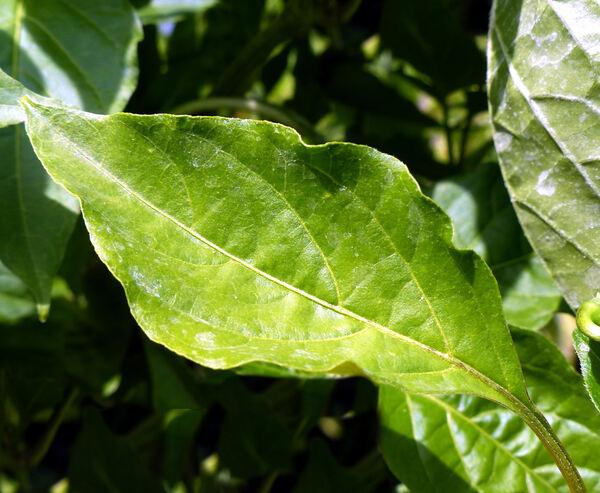 Capsicum annuum L. 'Kondom Paprika'