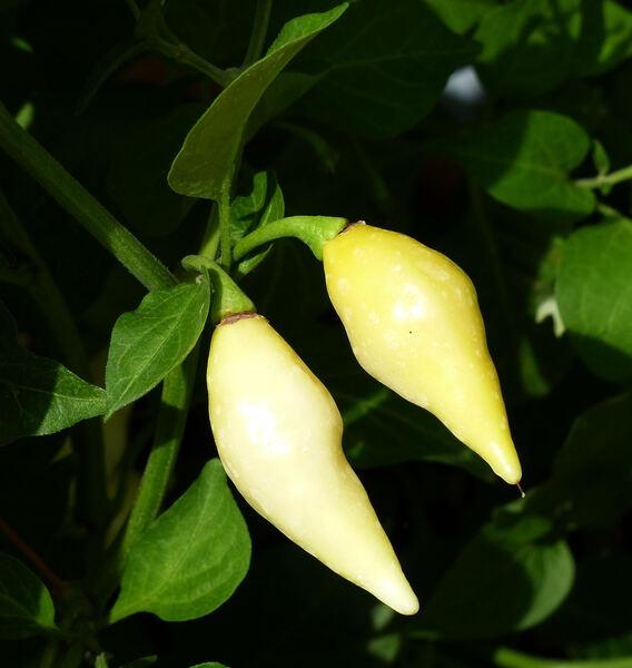 Capsicum chinense Jacq. 'Habanero White'