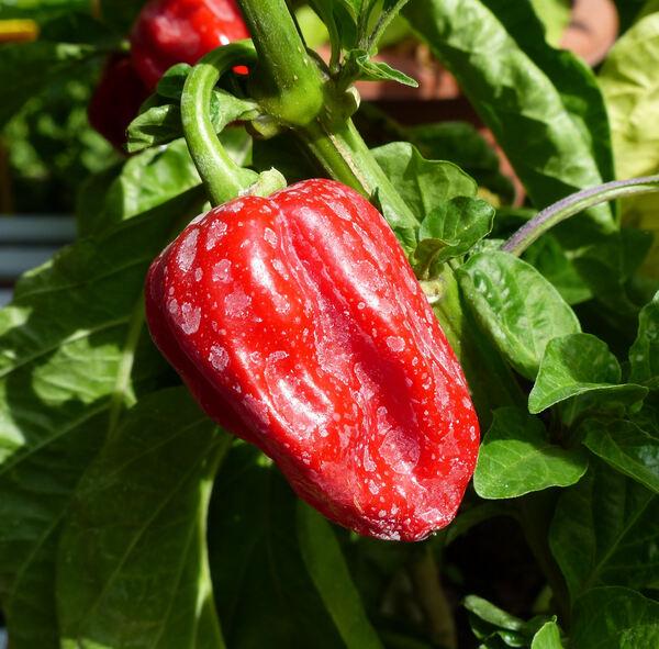 Capsicum chinense Jacq. 'Caribbean Red'