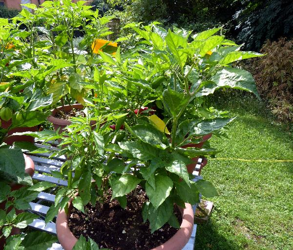 Capsicum chinense Jacq. 'Jamaican Red'