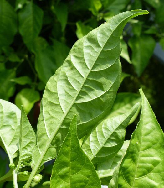 Capsicum chinense Jacq. 'Carolina Reaper'
