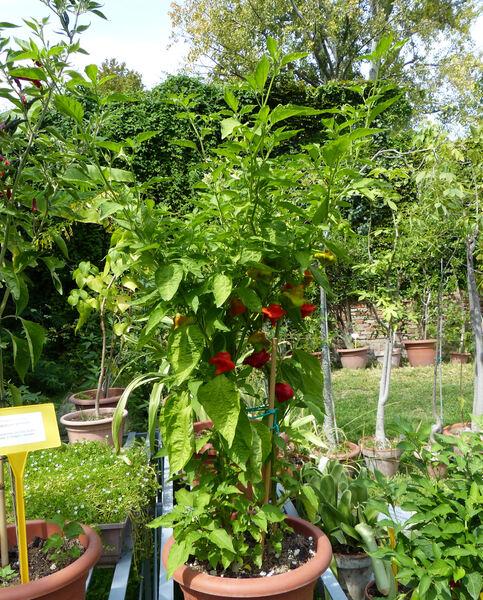 Capsicum baccatum L. 'Rocotillo'