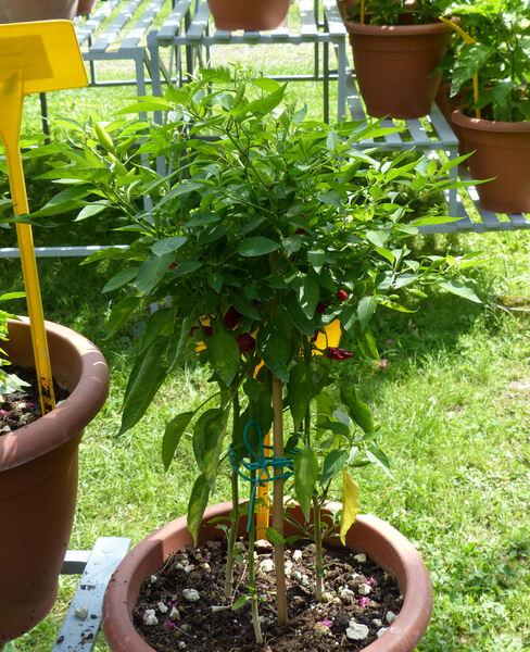 Capsicum frutescens L. 'Tabasco'