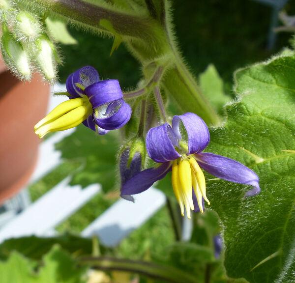 Solanum mammosum L.
