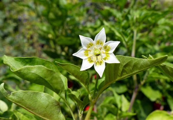 Capsicum baccatum L. 'Aji Escabeche'
