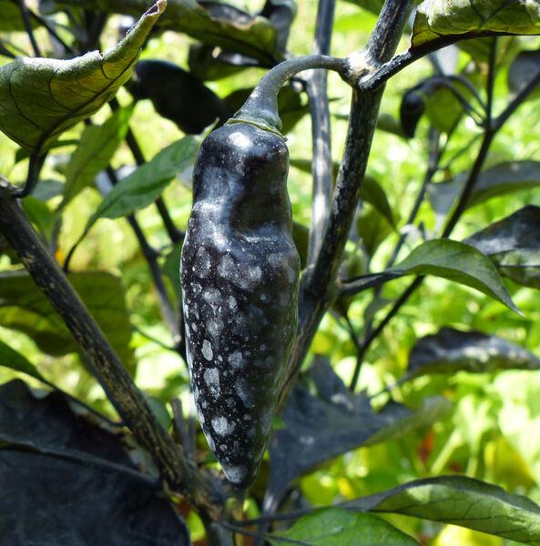 Capsicum annuum L. 'Pimenta de Neyde'