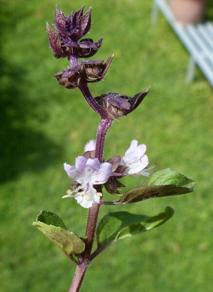 Ocimum basilicum L. 'Boys Ararat'