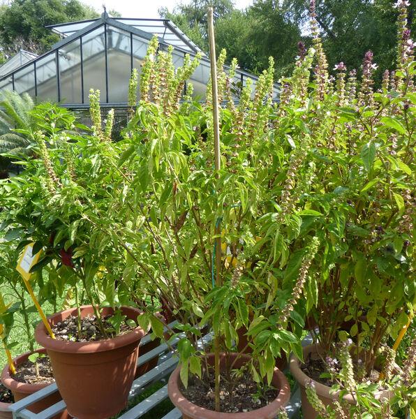 Ocimum basilicum L. 'Albanca'