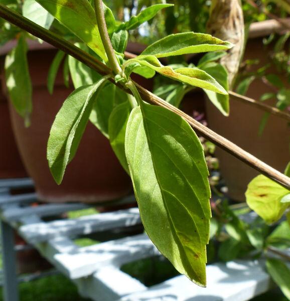 Ocimum basilicum L. 'Glycyrrhiza'