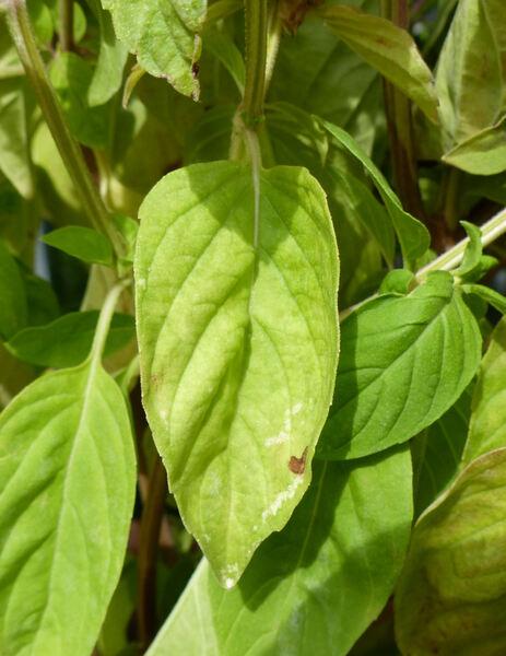 Ocimum basilicum L. var. purpurascens Benth.
