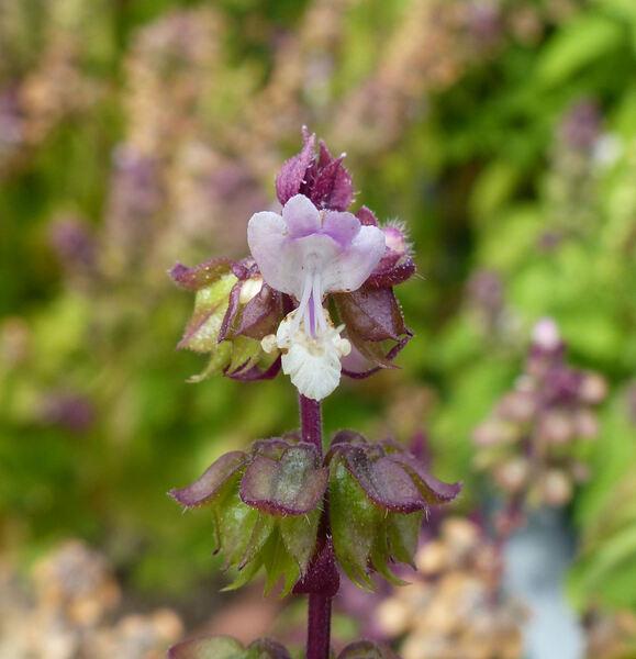 Ocimum basilicum L. 'Siam Queen'