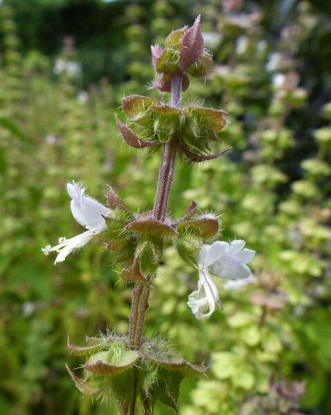 Ocimum basilicum L. 'Anise'