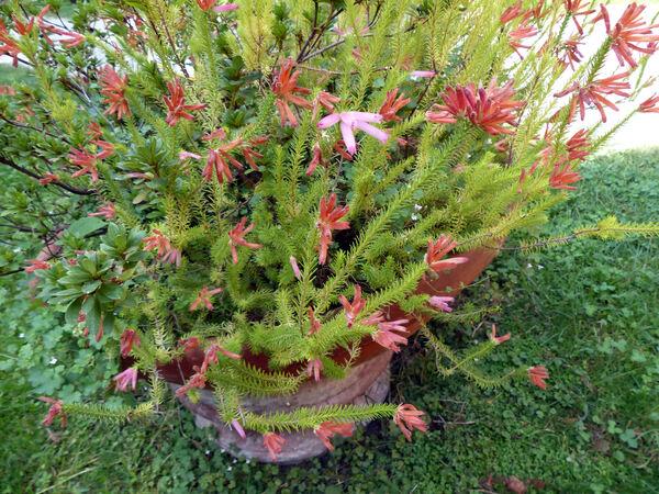 Erica manipuliflora Salisb.