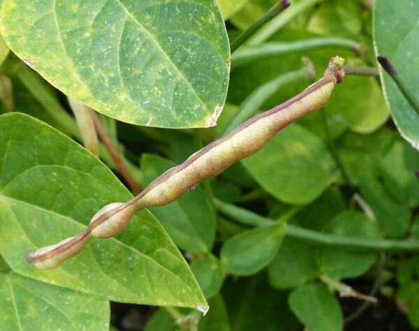 Vigna unguiculata (L.) Walp.