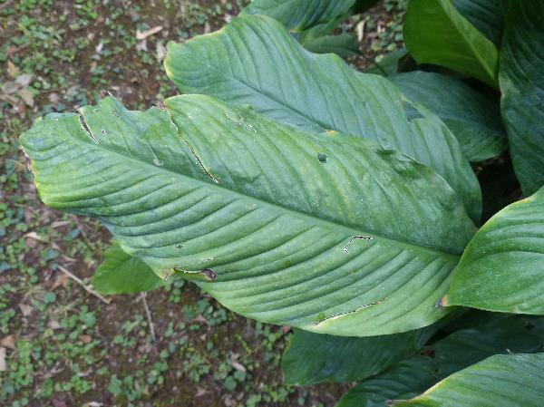 Spathiphyllum sp.