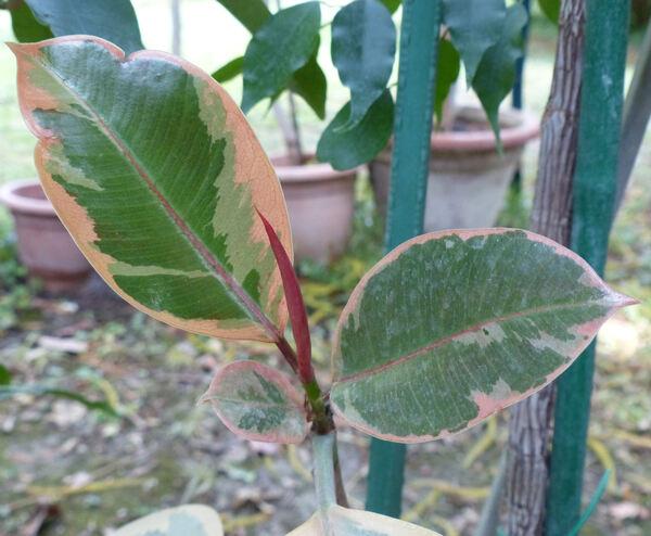Ficus elastica Roxb. 'Variegata'