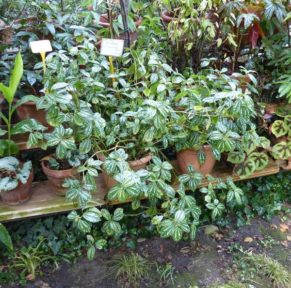 Begonia 'Argenteo-Guttata'