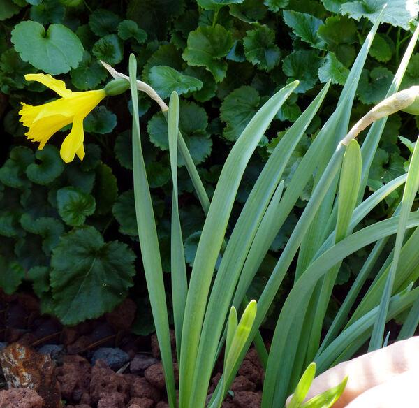 Narcissus minor L.