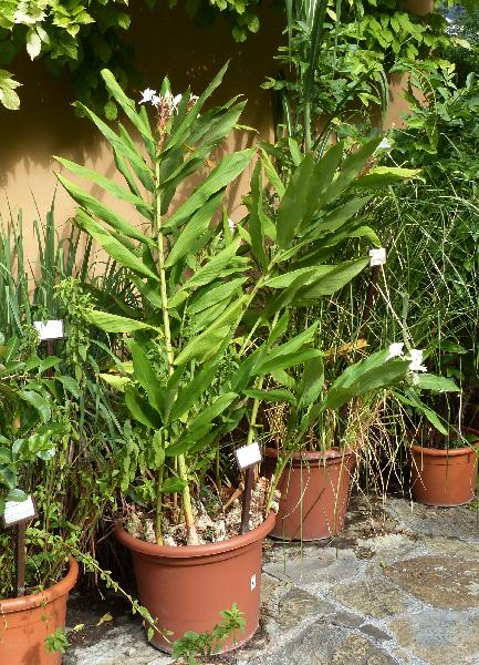 Hedychium coronarium J. Koenig