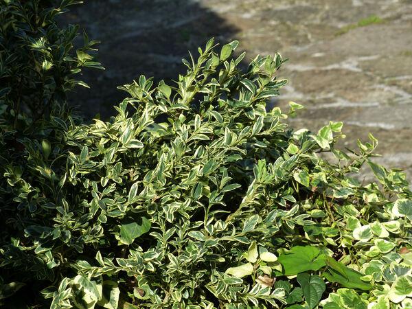 Buxus sempervirens L. 'Marginata'