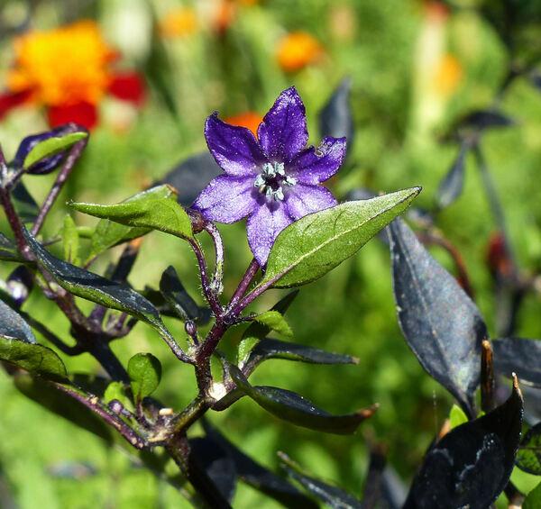 Capsicum annuum L. 'Violetto Fuoco Nero'