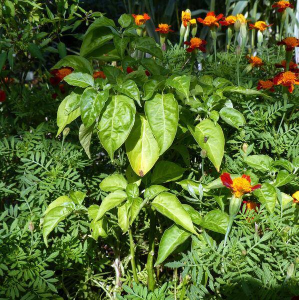 Capsicum pubescens Boiss. 'Costa Rica Red Hot'