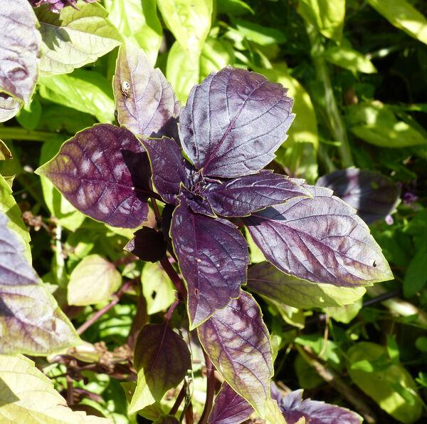 Ocimum basilicum L. 'Violetto'
