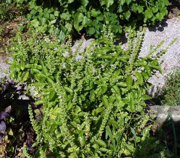 Ocimum basilicum L. 'Genovese'