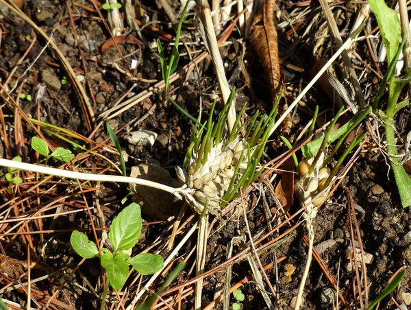 Triticum aestivum L. subsp. compactum (Host) Mac Key