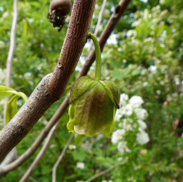 Asimina triloba (L.) Dun. 'Sunflower'