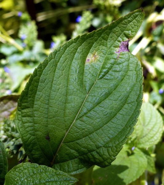 Salvia hispanica L.