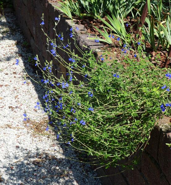 Salvia chamaedryoides Cav.