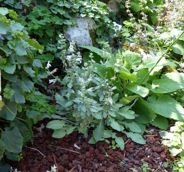 Salvia taraxacifolia Coss. & Bal. ex Hook.