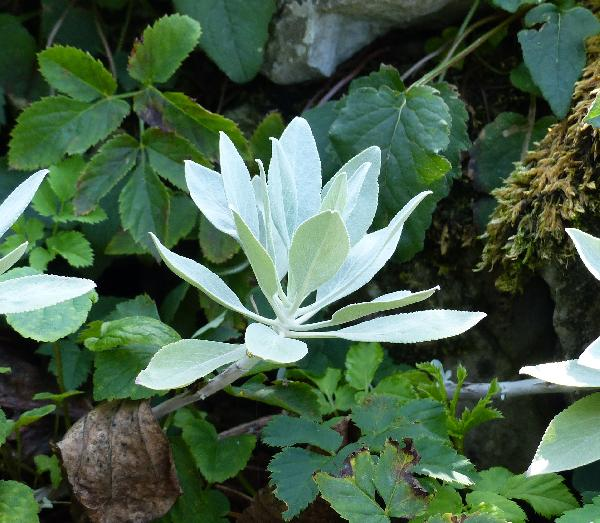 Salvia apiana Jeps.