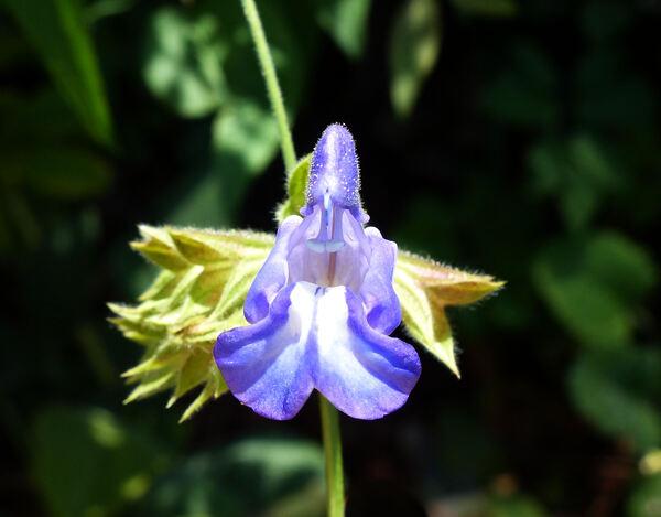 Salvia ringens Sibth. & Sm.