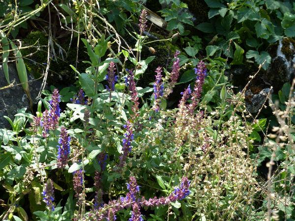 Salvia x superba hort. 'Reine des Bleues'