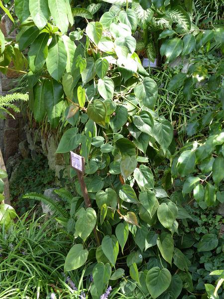 Philodendron hederaceum Schott