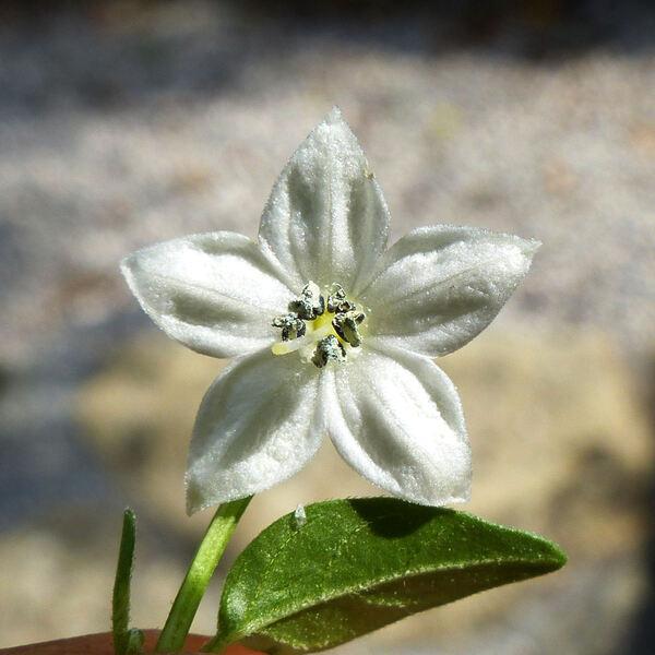 Capsicum frutescens L.