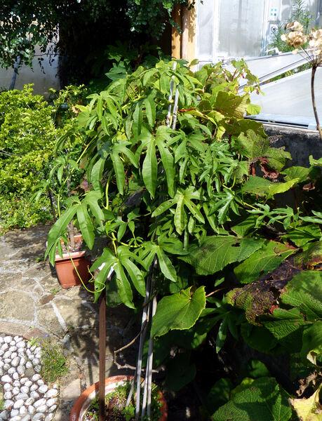 Ipomoea cairica (L.) Sweet