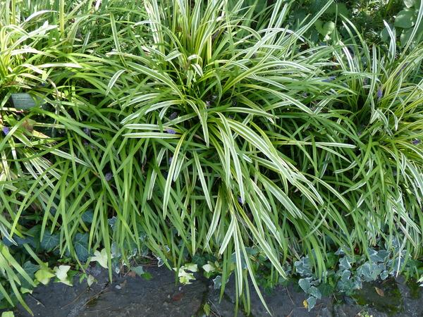 Liriope muscari (Decne.) L.H.Bailey 'Variegata'