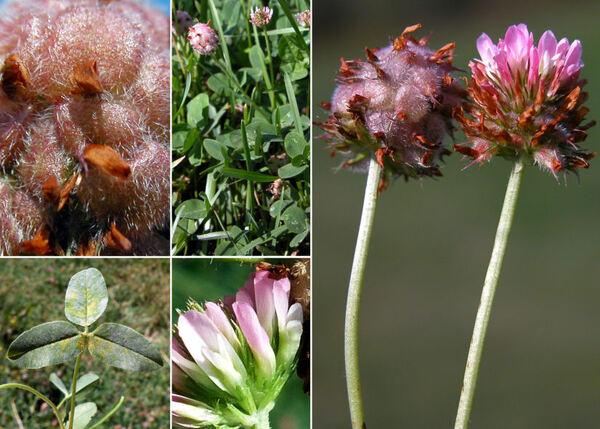 Trifolium fragiferum L. subsp. fragiferum