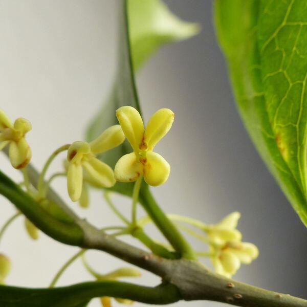 Osmanthus fragrans Lour. 'Aurantiacus'