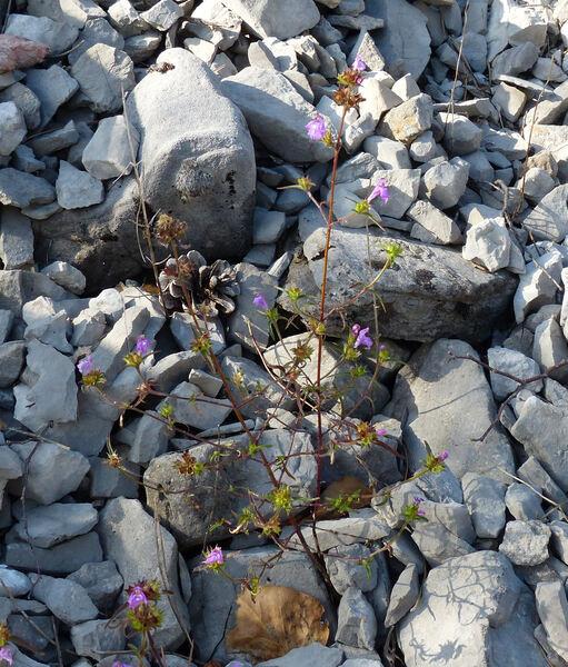 Galeopsis angustifolia Ehrh. ex Hoffm. subsp. angustifolia