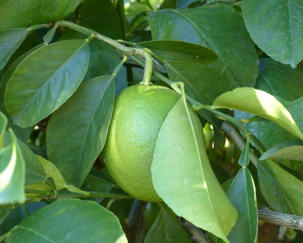 Citrus x lumia Risso & Poit. 'Pomum Adami'